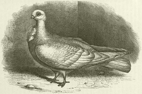 Darwin, C  R  1868  The variation of animals and plants